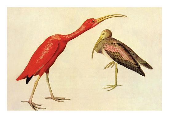 john-james-audubon-scarlet-ibis