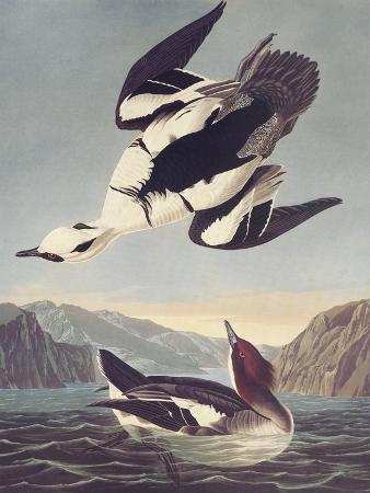 john-james-audubon-smew-or-white-nun