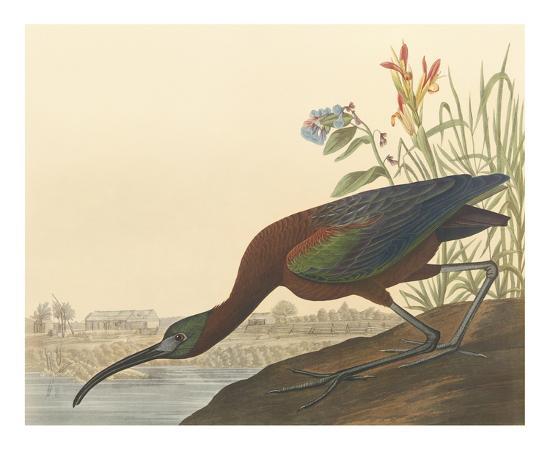 john-james-audubon-the-glossy-ibis