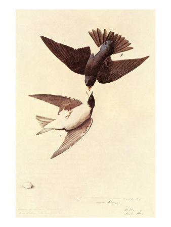 john-james-audubon-tree-swallow