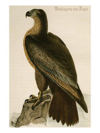 john-james-audubon-washington-sea-eagle
