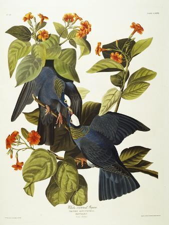 john-james-audubon-white-crowned-pigeon-columba-leucocephala-plate-clxxvii-from-the-birds-of-america