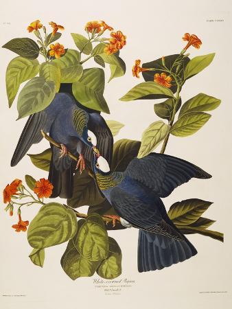 john-james-audubon-white-headed-pigeon-columba-leucocephala-plate-clxxvii-from-the-birds-of-america