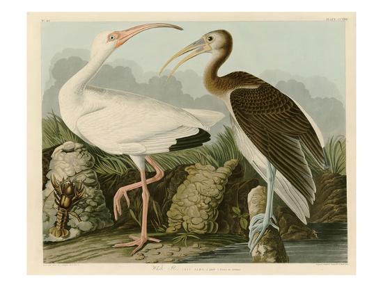 john-james-audubon-white-ibis