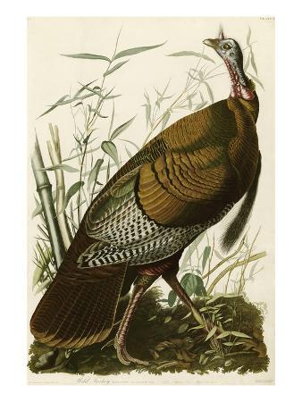 john-james-audubon-wild-turkey