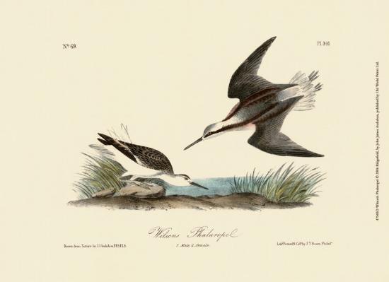 john-james-audubon-wilson-s-phalaropel