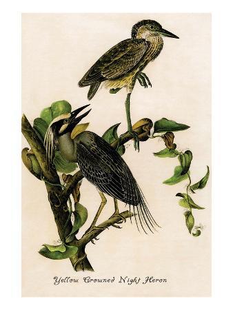 john-james-audubon-yellow-crowned-night-heron