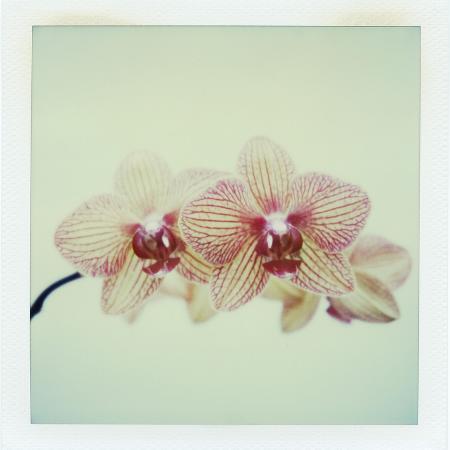 john-kuss-balkan-kaleidoscope-orchid