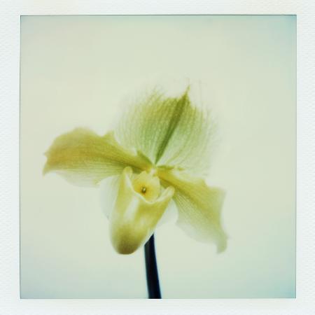 john-kuss-yellow-lady-slipper-orchid