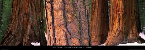 john-lawrence-californian-redwood-trees-california