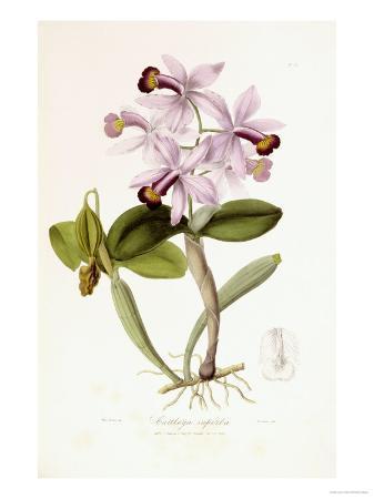 john-lindley-sertum-orchidaceum