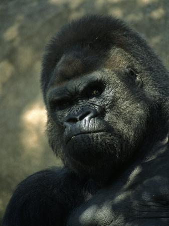 john-luke-gorilla-in-san-diego-wild-animal-park-ca