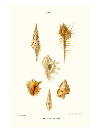 john-mawe-trumpet-shells