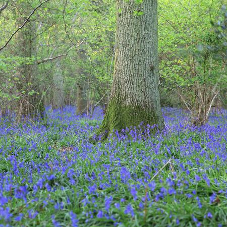 john-miller-bluebells-in-a-wood-in-england-united-kingdom-europe