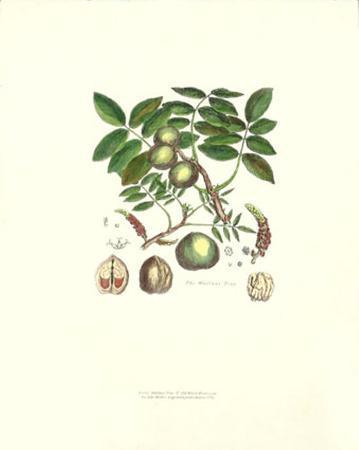 john-miller-johann-sebastien-mueller-wallnut-tree