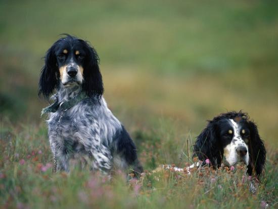 john-warburton-lee-english-setters-on-the-moor-caithness-scotland