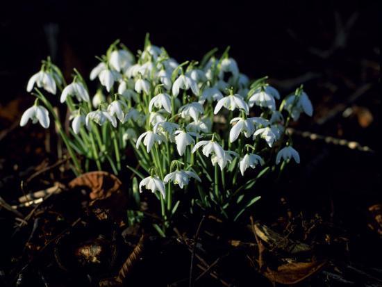 john-warburton-lee-snowdrops-lincolnshire-england