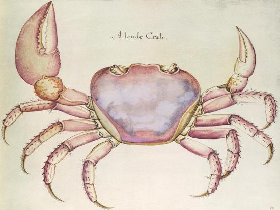 john-white-land-crab