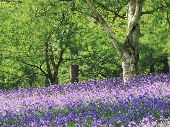 jon-arnold-bluebells-in-woods-springtime