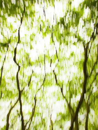 jon-arnold-japanese-maple-acer-tree-in-springtime-england-uk