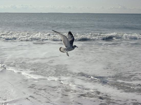 joseph-h-bailey-a-sanderling-with-wings-spread-is-frozen-in-flight-over-the-foamy-atlantic-surf