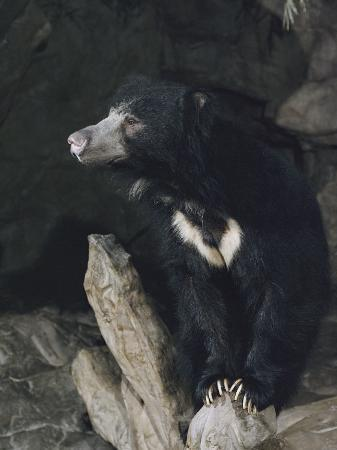 joseph-h-bailey-a-sleepy-sloth-bear-takes-a-breather-outside-its-cave