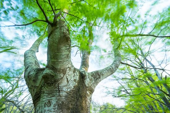 juan-carlos-munoz-pollarded-european-common-beech-tree-fagus-sylvatica-in-beech-forest