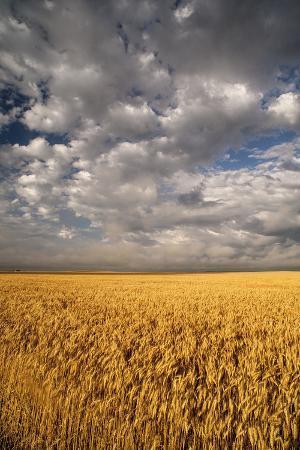 judith-zimmerman-south-dakota-summer-morning-wheat-fields-on-the-south-dakota-prairie