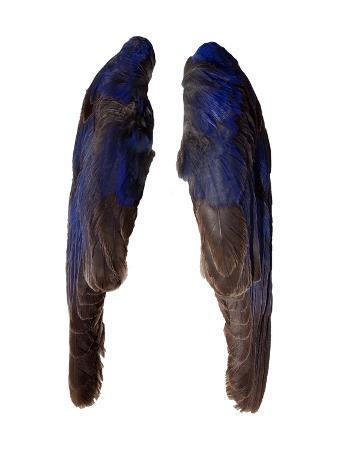 judy-tuwaletstiwa-bluebird-wings