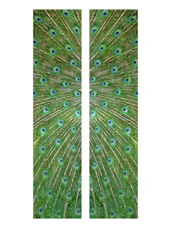 judy-tuwaletstiwa-peacock