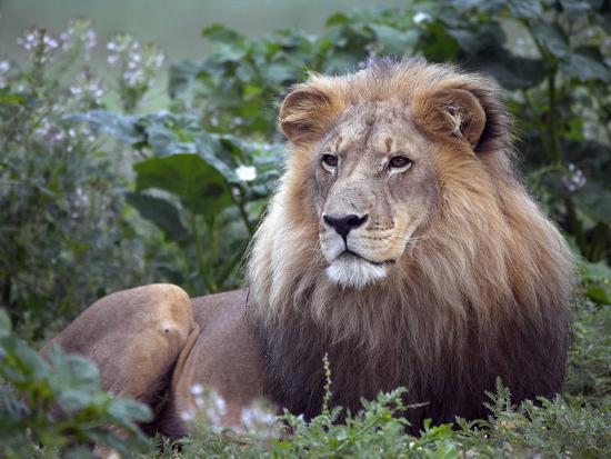 julian-love-mature-male-lion-at-the-africat-foundation-in-namibia