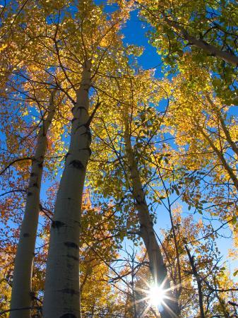 julie-eggers-aspen-trees-with-sunlight-coming-through-alaska-usa