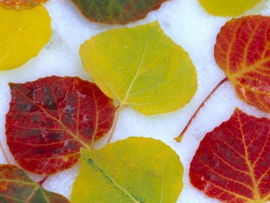 julie-eggers-colorful-aspen-leaves-on-snow-colorado-usa