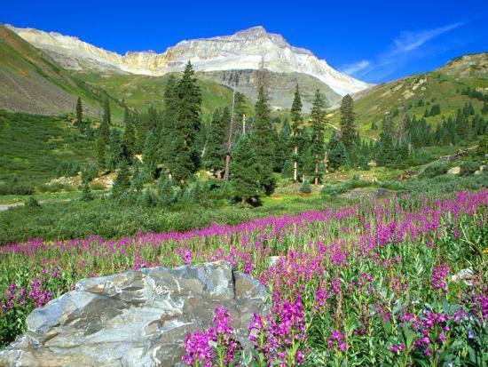 julie-eggers-meadow-of-fireweed-in-mt-sneffels-wilderness-area-colorado-usa