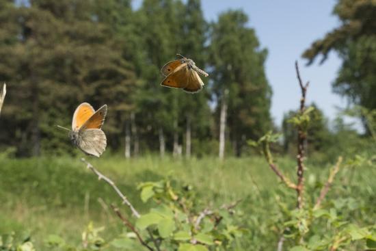 jussi-murtosaari-small-heath-coenonympha-pamphilus-two-males-fighting-in-habitat-aland-islands-finland-june