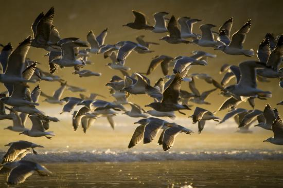 justin-bailie-gulls-at-oswald-west-state-park-or