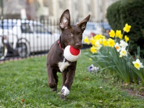 karine-aigner-pet-mutt-chocolate-labrador-mix-dog-running-with-a-toy