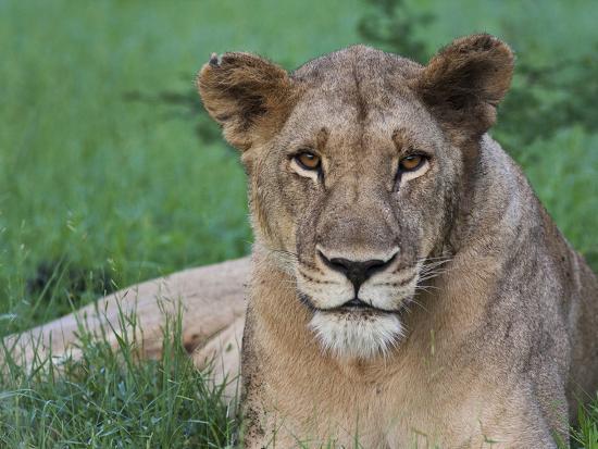 karine-aigner-portrait-of-a-wild-lioness-in-the-grass-in-zimbabwe
