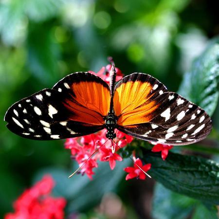 karl-rosencrants-beautiful-butterfly
