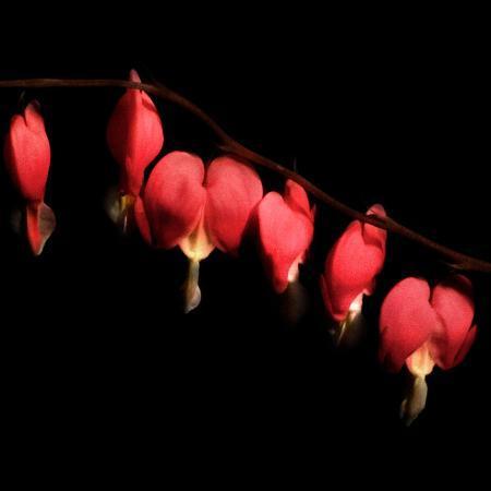 katherine-sanderson-six-bleeding-hearts