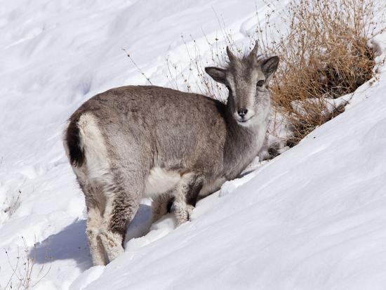 katie-garrod-india-ladakh-rumbak-himalayan-blue-sheep-or-bharal-foraging-for-food-on-a-snowy-slope-in-the-r