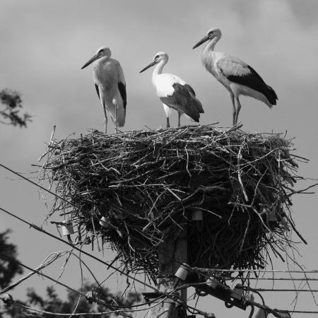 keenpress-three-young-storks-standing-on-their-nest