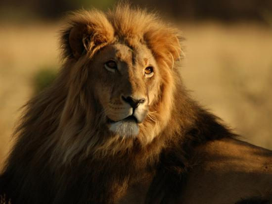 keith-levit-lions-namibia-africa