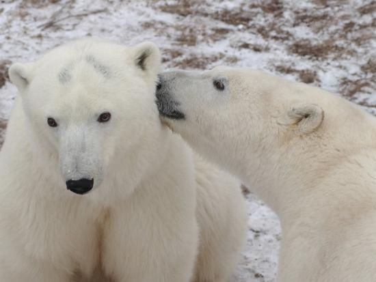 keith-levit-polar-bears-churchill-manitoba