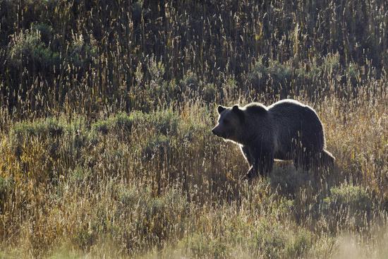 ken-archer-autumn-grizzly-bear