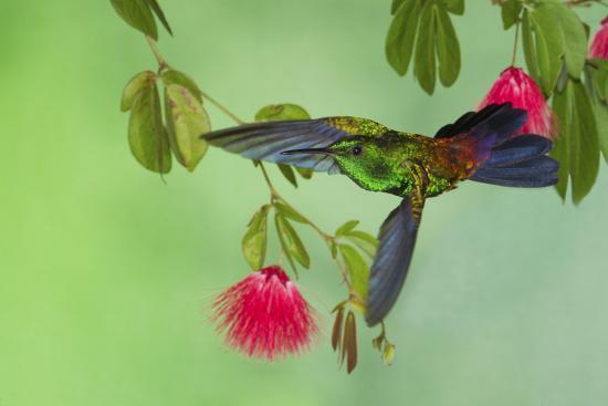 ken-archer-copper-rumped-hummingbird