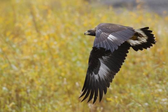 ken-archer-golden-eagle-autumn-flight