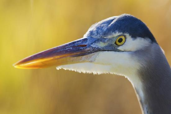 ken-archer-great-blue-heron-autumn-close-up