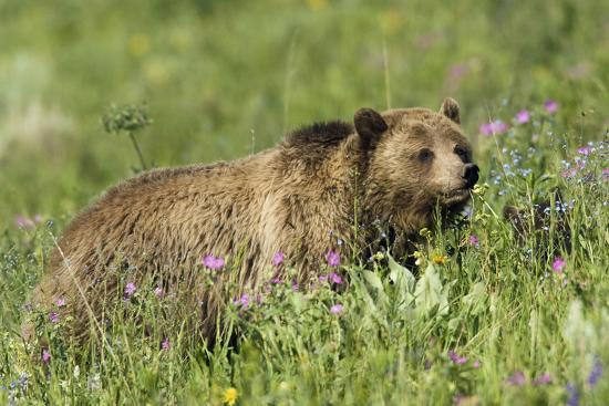 ken-archer-grizzly-bear-alpine-foraging