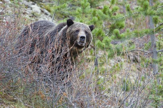 ken-archer-grizzly-bear-in-autumn